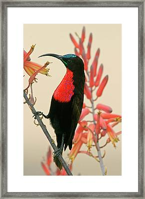 Tanzania, Ndutu Close-up Framed Print