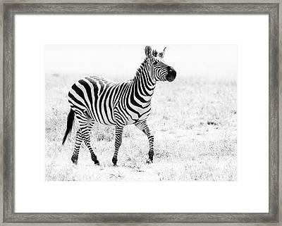 Tanzania Zebra Framed Print