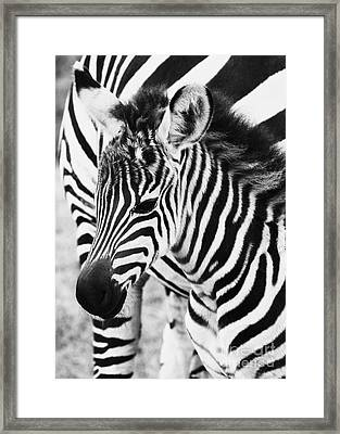Tanzania Zebra Foal Framed Print