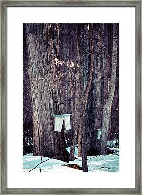 Tapped Maples Framed Print by Cheryl Baxter