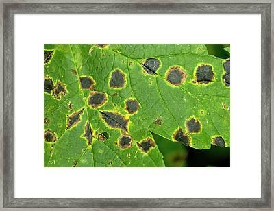 Tar Spot On Sycamore Leaf Framed Print