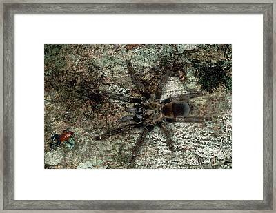 Tarantula And Frog Framed Print by Gregory G. Dimijian, M.D.