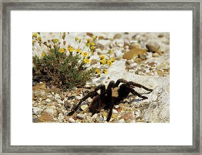 Tarantula (aphonopelma Framed Print by Richard and Susan Day