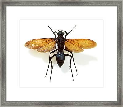 Tarantula Hawk Wasp Framed Print by Natural History Museum, London