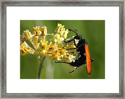 Tarantula Hawk Wasp Framed Print