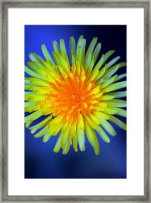 Aaron Berg Photography Framed Print featuring the photograph Taraxacum by Aaron Berg