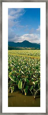 Taro Crop In A Field, Hanalei Valley Framed Print by Panoramic Images