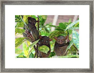 Tarsier Framed Print by Lars Ruecker