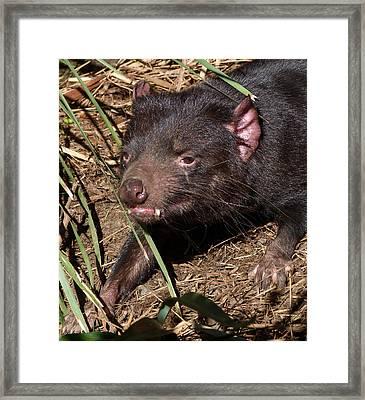 Tasmanian Devil Framed Print by Margaret Saheed
