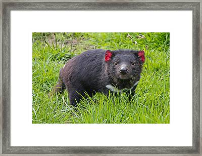 Tasmanian Devil Framed Print by Phil Stone