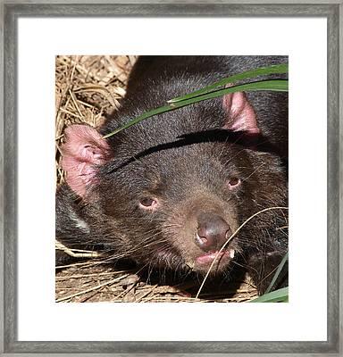 Tasmanian Devil Portrait Framed Print by Margaret Saheed
