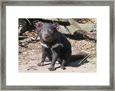 Tasmanian Devil Framed Print by Steven Ralser