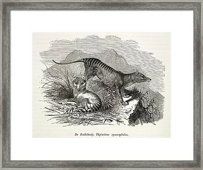 Tasmanian Wolf Framed Print by British Library