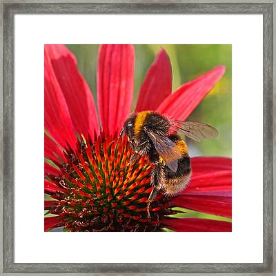 Taste Of Summer - Bee On Red Coneflower - Square Framed Print by Gill Billington