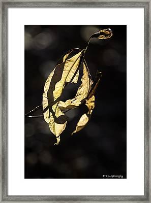 Tattered Leaf Framed Print by Fran Gallogly