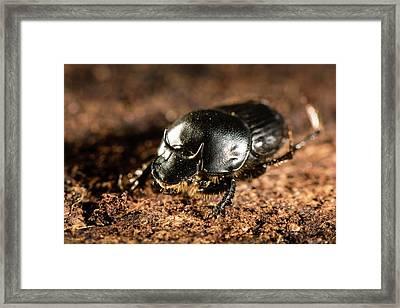 Taurus Scarab Beetle Framed Print