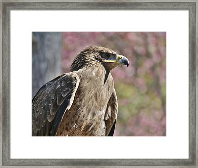 Tawny Eagle Amongst The Cherry Blossoms Framed Print by Paulette Thomas