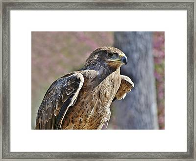 Tawny Eagle Framed Print by Paulette Thomas