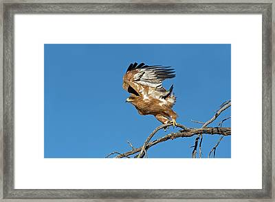 Tawny Eagle Taking Off Framed Print by Tony Camacho