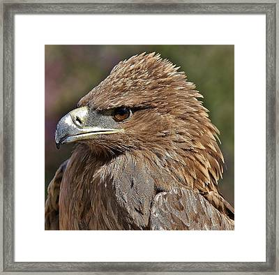 Tawny Eagle Up Close Framed Print by Paulette Thomas