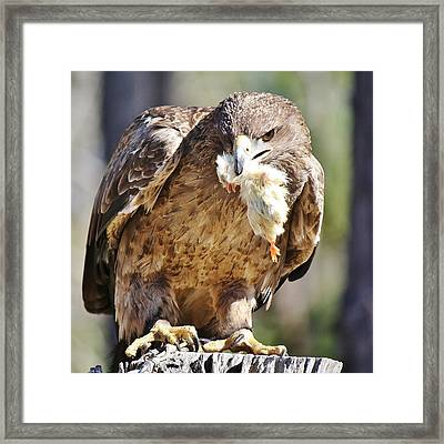 Tawny Eagle With Chicken Dinner Framed Print by Paulette Thomas