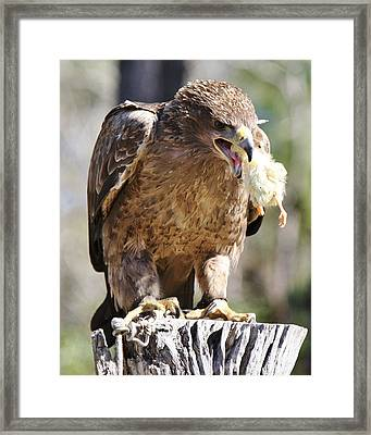 Tawny Eagle With His Prey Framed Print by Paulette Thomas