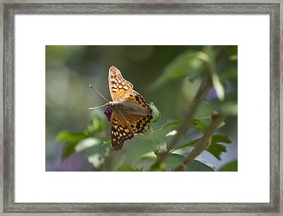 Tawny Emperor On Hibiscus Framed Print