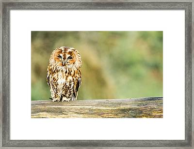 Tawny Owl Framed Print by George Cox