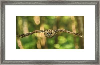 Tawny Owl In Flight Framed Print by Izzy Standbridge