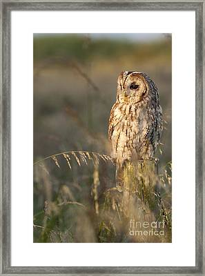 Tawny Owl Framed Print by Tim Gainey