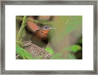 Tawny-throated Leaftosser Framed Print