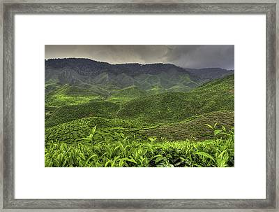 Tea Farm Framed Print by Mario Legaspi