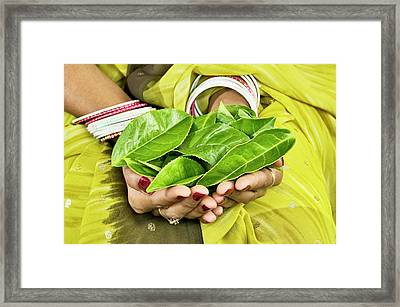 Tea Leaves In Hands Framed Print by Lea Paterson/science Photo Library