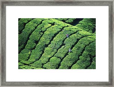 Tea Pickers, Munar, Kerala, India Framed Print