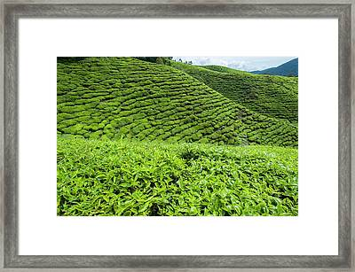 Tea Plantations In The Cameron Highlands Framed Print