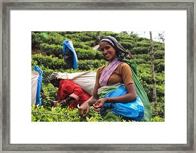 Tea Plucker Framed Print