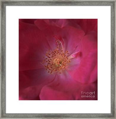 Framed Print featuring the photograph Tea Rose by Debra Fedchin