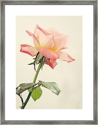 Tea Rose Framed Print by Heather Applegate
