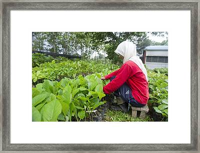 Teak Planting, Malaysia Framed Print by Science Photo Library