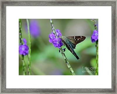 Teal Long Tailed Skipper Butterfly Framed Print by Sabrina L Ryan