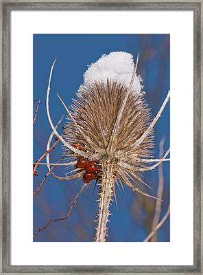 Teasel And Ladybirds Framed Print by Science Photo Library