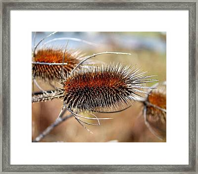 Framed Print featuring the photograph Teasel by Candice Trimble