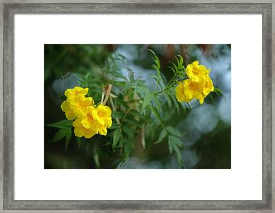 Tecoma Stans The Yellow Bell Tree Framed Print