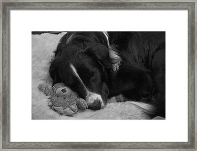 Teddy Lion Clem Framed Print by Daniel Kasztelan