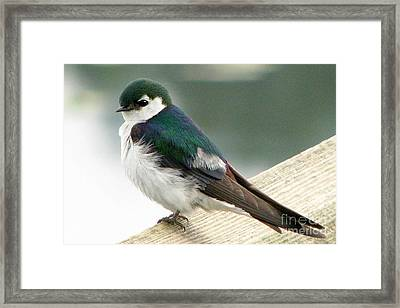 Violet-green Swallow Framed Print