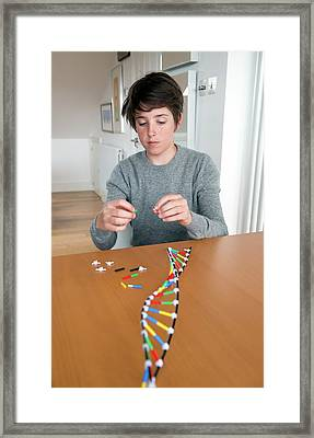 Teenager Building Dna Model Framed Print by Lawrence Lawry