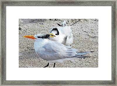 Telling Secrets Royal Terns Framed Print by Judy Via-Wolff