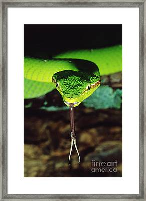 Temple Viper Framed Print by Gregory G. Dimijian