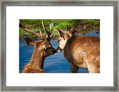 Tender Kiss. Deer In The Pamplemousse Botanical Garden. Mauritius Framed Print