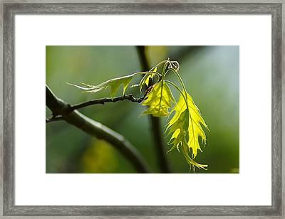Tender Oak Leaves Emerge Framed Print by Beth Akerman